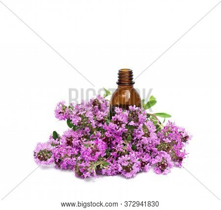 Flowers Thymus Vulgaris ( Common Thyme, German Thyme, Garden Thyme Or Just Thyme ) With Pharmaceutic