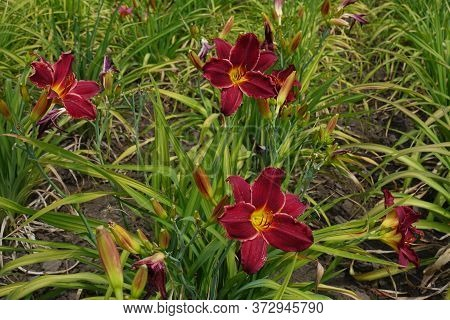Carmine Red And Yellow Flowers Of Daylilies In June