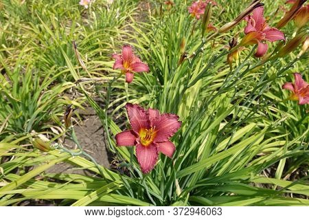 Cerise Red And Yellow Flowers Of Daylily In June