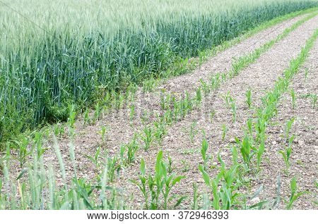 View Over Agricultural Fields With Young Maize Or Corn Plants Next To Green Rye In Springtime