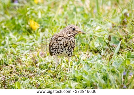 Song Thrush (turdus Philomelos) Sitting On The Ground