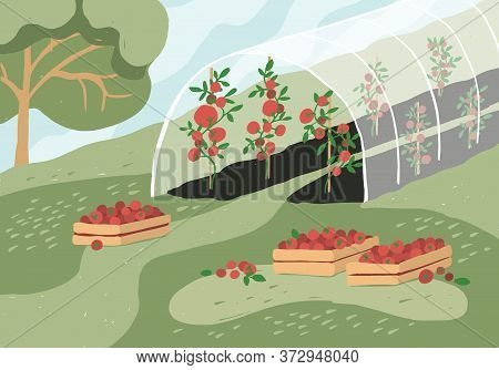 Greenhouse With Tomato Plants. Garden Landscape. Harvest Season. Wooden Boxes With Tomatoes On Grass
