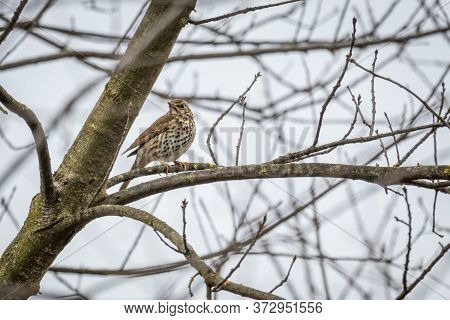 Song Thrush (turdus Philomelos) Sitting On A Branch
