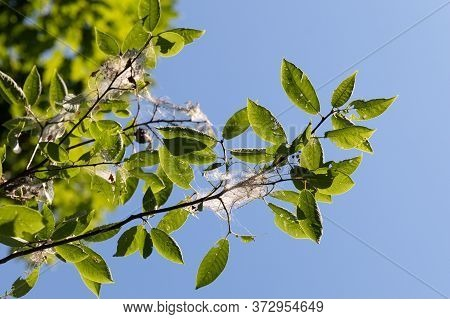 Tree Bird Cherry In Garden Infested With Spindle Ermine Moth Caterpillars, Covered With Webs From Th