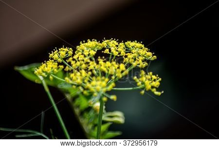 The Mustard Flower Or Plant Is A Plant Species In The Genera Brassica And Sinapis In The Family Bras