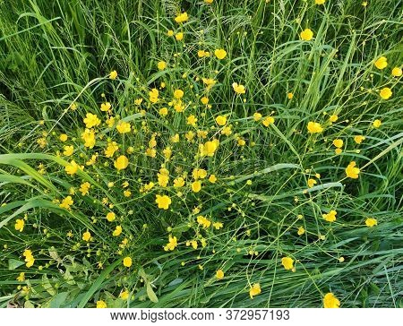 Bright Yellow Buttercups In A Meadow. Wild Flowers An D Green Grass Background. Summer Time.
