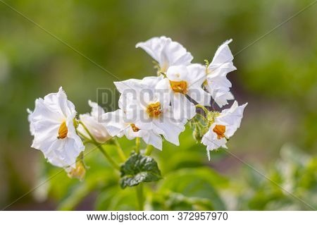 Blooming Potatoes.the White Flowers Of The Potato.potatoes Are Blooming In The Field.