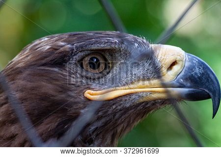 Adult Golden Eagle Bird In A Cage. Dangerous Bird Is A Predator With A Large Beak Behind Bars. Golde