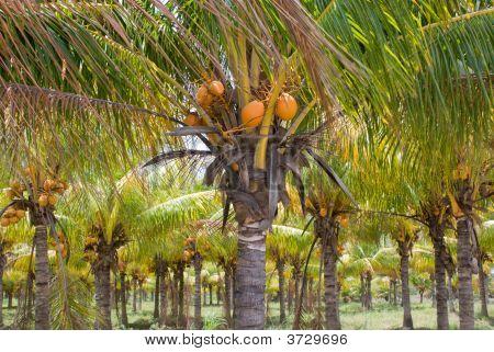 Coconut Palm Farm