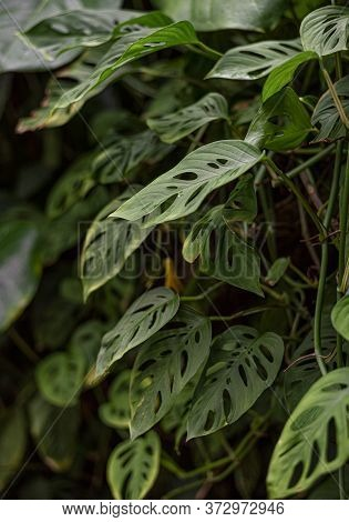 Many Green Fresh Leaves Of Monstera Adanson (monstera Punched), Small Leaves Of Monstera With Holes