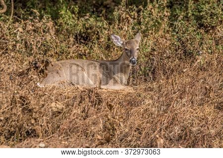 Adult Whitetail Female Deer Doe Sitting On Dried Grasses In The Open Field With The Woodlands In The