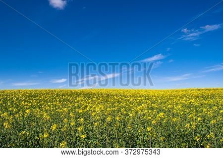 A Beautiful Rape Field In The Country With A Blue Sky With Clouds. Magic Rapeseed Fields In May, Cul