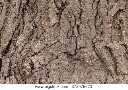 Mulberry Tree Bark Texture. Thick Trunk Of An Old Tree With Cracked Bark. Moss And Lichen On The Sou