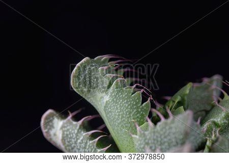 Leaves Of A Faucaria Tigrina