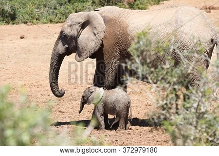 Elephant Cow With Her Baby Calf Photographed At Addo Elephant National Park