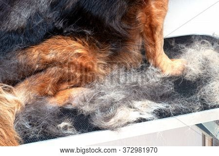 Concept Annual Molt, Coat Shedding, Moulting Dogs. Dog Paws In Pile His Fur. Old Dog