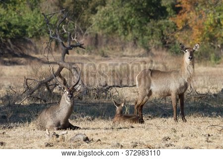 Waterbuck Parents Stand Watch Over Their Young Keeping Him Safe In Mana Pools Zimbabwe With Bokeh
