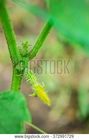 A Small Green Cucumber With A Yellow Flower Grows In The Garden