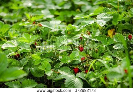 Red Ripe Forest Strawberries Grow On A Forest Clearing
