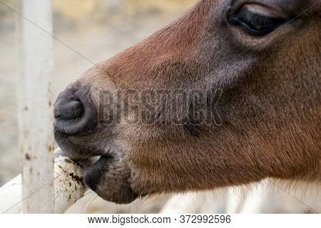Closeup On The Lower Portion Of The Head And Snout Of A Liver Chestnut Colt Chewing The Bar Of  A Me