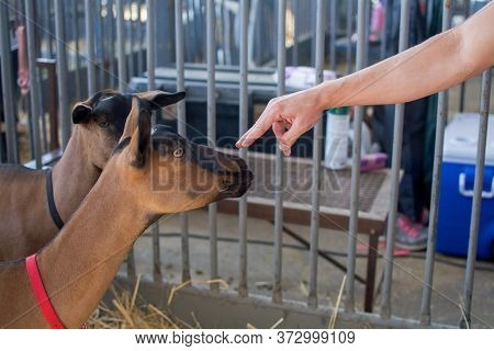 Sacramento, California, U.s.a. 23 July 2017. Hand Touching Goat On Display At The California State F