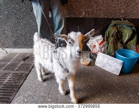 Beggar In An Underpass With A Small Goat Asks For Alms. Close-up Of A Kid, In The Background Are The