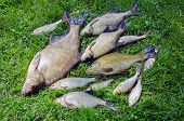 Bream roach tench fishes caught in lake after fishing on grass poster