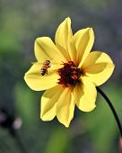 Flying Bee Captured In Flight w/ Yellow Flower Petals and stem and blurry green bokeh background poster