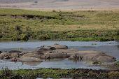 animals - hippos poster