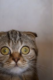 Portrait Of A Scottish Fold Cat With Wide Open Eyes. Fright Is An Emotion. Vertical Orientation.