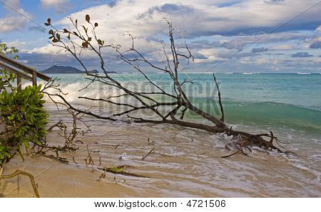 an uprooted tree lies in the surf at Lanikai beach in Hawaii poster