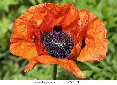 Red Poppy Flower Macro