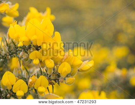 Blooming Gorse