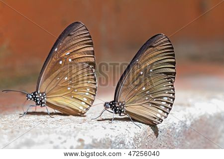 Long Branded Blue Crow Butterflies