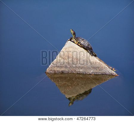 a turtle in a pond on a rock