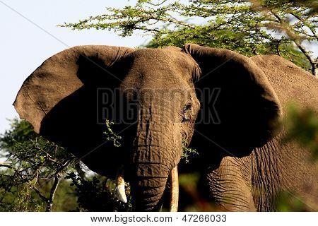 Elefant-Nahaufnahme