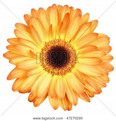 Orange Gerber Flower Isolated On White Background