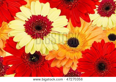 Abstract backgrounds of gerber flowers