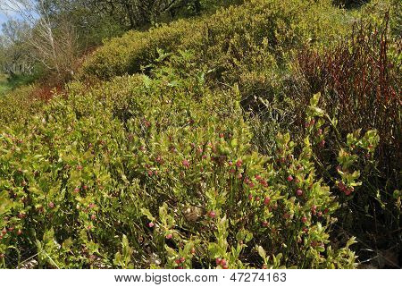 Bilberry bushes