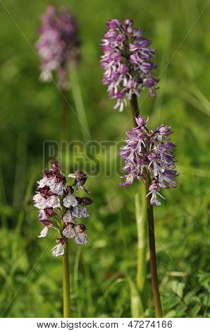 Lady Orchid with hybrids