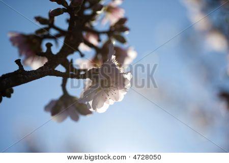 Almond Tree Flower In Spring Background