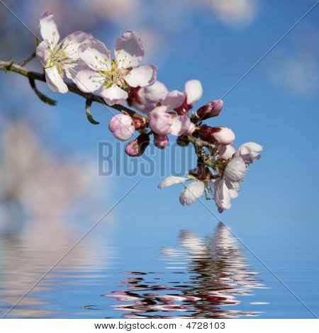 Spring Background With Pink Almond Flower And Water Reflexion