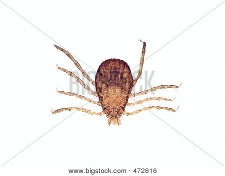 Microscope - Tick (rhipicephalus Sanguineus)