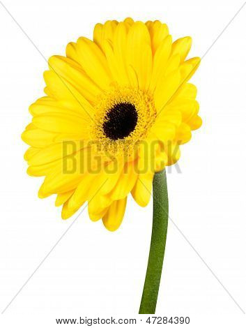 Yellow Gerbera Flower With Green Stem Isolated