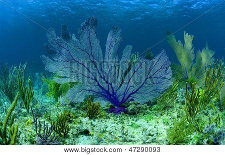 Beautiful Purple Sea Fan On A Coral Reef In The Bahamas