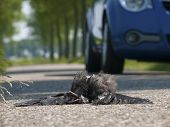 dead bird on the asphalt highway with moving car poster