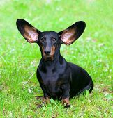 Pedigree dachshund with protruding ears and a funny expression on the green grass poster