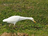 Cattle egret commonly seen on Florida lawns poster