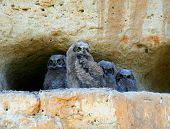 great horned owl babies. owlets on a cliff poster