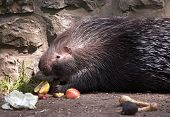 Indian crested porcupine. Sort : Hystrix indica poster